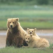 Alaskan Brown Bear, (Ursus middendorffi)  Mother with her cubs. Katmai National Park. Alaska.