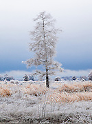 Single tree with frozen rain in rice-field with dark storm sky
