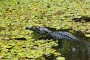 American alligator swimming among lily pads in swamp in the Florida Everglades, United States of America