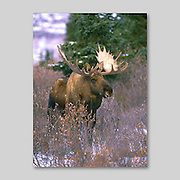 Alaska. Bull Moose. (Alces alces) in fall.  Male moose (bulls) weigh over 550kg (1200lb) on average. Although generally timid, the males become very bold during the breeding season.