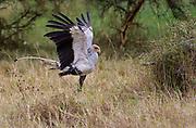 Secretary Bird (Sagittaria serpentaria) hunting for snakes in Solio Ranch, Kenya