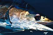Marlin Stock Photos
