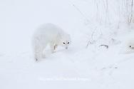 01863-01504 Arctic Fox (Alopex lagopus) Churchill Wildlife Management Area, Churchill, MB