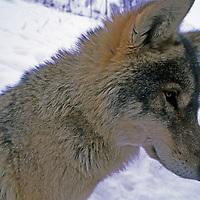 WOLF, Romania, Priana, a captive wolf studied by Carpathian Large Carnivore Project, near Zarnesti in Transylvanian Alps.
