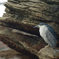 A Black-Crowned Night Heron (Nycticorax nycticorax) stands on a rock on Carcass Island in Britain's Falkland Islands.