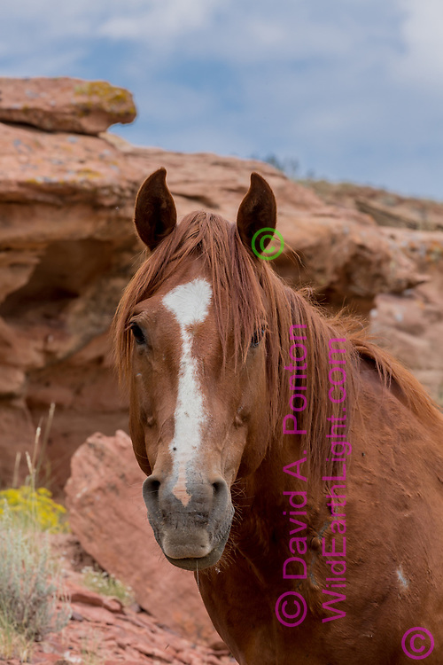 Portrait of free-roaming horse with  sandstone outcrop in northwestern New Mexico, © David A. Ponton
