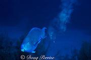 blue parrotfish, Scarus coeruleus, <br /> terminal male releasing cloud of sand in excrement<br /> Bahamas ( Atlantic Ocean )