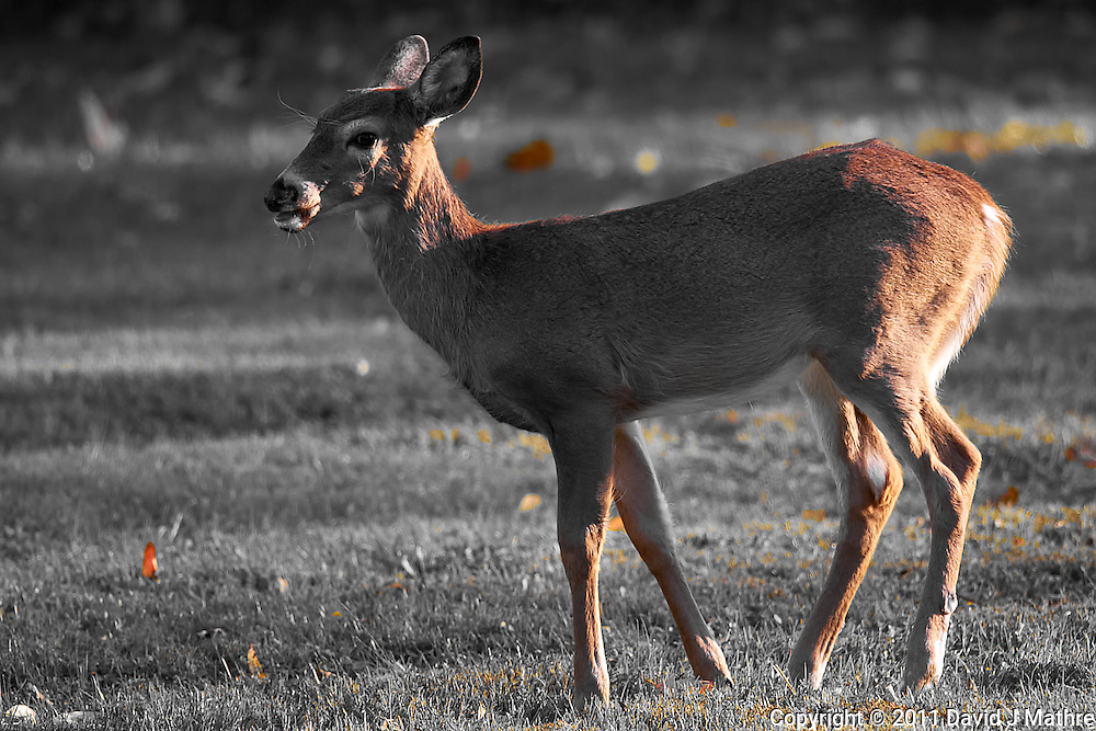 Young Doe at Dusk Image Taken with a Nikon D3s and 500 mm f/4 VR lens (ISO 250, 500 mm, f/4, 1/320 sec).