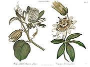 Machine colorized (AI) Illustration of a Blossom of a Passion Fruit plant (granadilla or Passiflora edulis) Copperplate engraving From the Encyclopaedia Londinensis or, Universal dictionary of arts, sciences, and literature; Volume XVIII;  Edited by Wilkes, John. Published in London in 1821