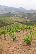 Vines. Domaine Matassa, Calces, Roussillon, France
