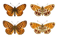 Small Pearl-bordered Fritillary - Boloria selene - male (top row) - female (bottom row). Wingspan 40mm. Similar to Pearl-bordered Fritillary and close attention to underwing markings is needed to confirm identification; typically flies later in the season than Pearl-bordered. Adult has orange brown upperwings with dark markings: on underside of hindwing note seven silver marginal spots and several silver central spots (just two in Pearl-bordered). Flies in June. Larva is black and hairy; feeds on violets. Local in woodland and grassland where violets are common, mainly in western half of Britain.