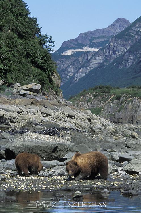 Alaskan Brown Bear<br /> Ursus arctos middendorffi<br /> Sow and yearling cub digging for clams<br /> Katmai National Park, AK