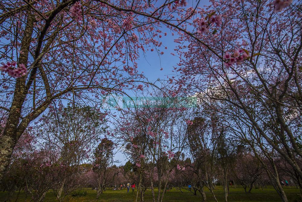 July 31, 2017 - SâO Paulo, São paulo, Brazil - SAO PAULO SP, SP 31/07/2017 PEOPLE CELEBRATE CHERRY BLOSSOMS: People enjoy fully bloomed cherry blossoms on July 31, 2017 in Parque do Carmo, São Paulo, Brazil  (Credit Image: © Cris Faga via ZUMA Wire)