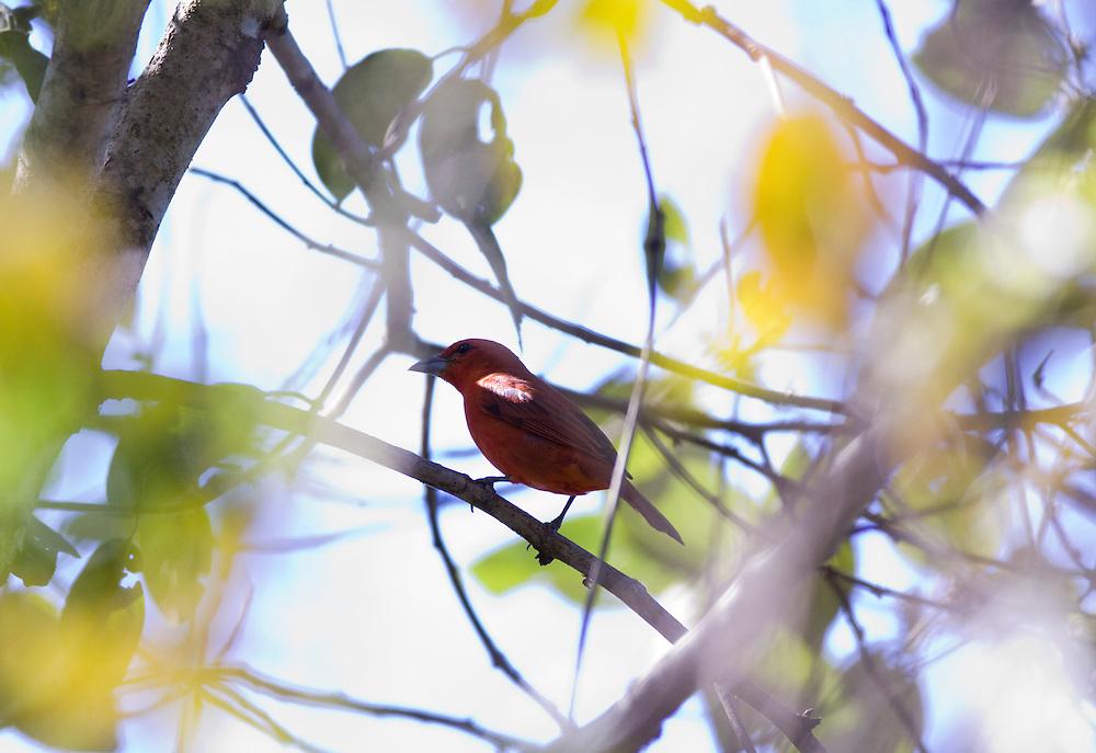 Nova Lima_MG, Brasil...Passaro no galho de uma arvore no condominio Passargada...A bird on the branch tree in the condominium Passargada...Foto: JOAO MARCOS ROSA / NITRO