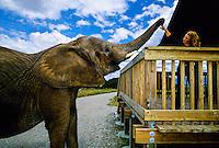 Elephant (Lisa), Vision Quest Ranch, Monterey County, California USA