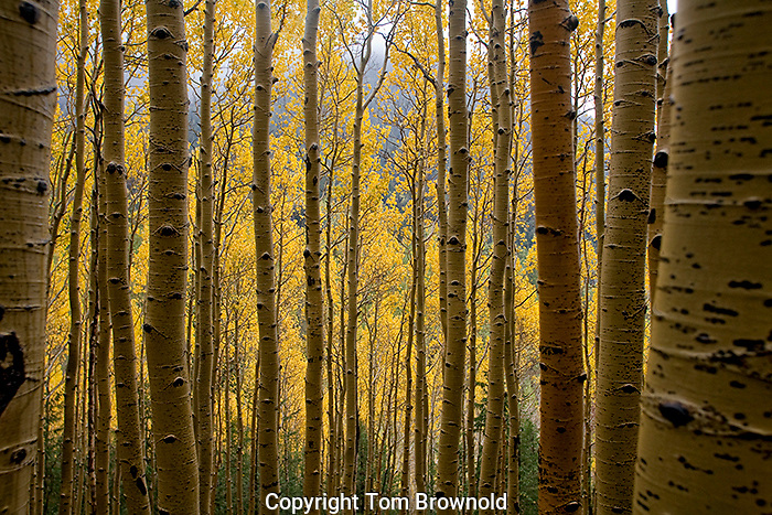 A view through the aspen forest