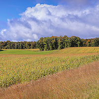 """""""Heartland Harvest Days""""<br /> <br /> Corn fields, grasses, trees with a bit of autumn color, and gorgeous puffy white clouds! What a wonderful harvest time scene in Michigan!"""