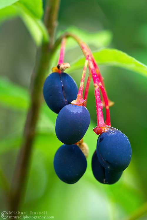 Closeup of Indian Plum (Oemleria cerasiformis) fruits in the forest of the Fraser Valley in British Columbia, Canada