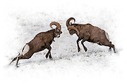 Artistic effects applied to a photograph of a pair of bighorn rams about to bash heads during the rut.