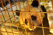 GUANGYUAN, CHINA - NOVEMBER 17: (CHINA OUT)<br /> <br /> Wild Panda With Exposed Intestines Found<br /> <br /> A wild panda injured by several Formosan Yellow-throated Martens is found on November 17, 2014 in Guangyuan, Sichuan province of China. Personnel of Tangjiahe national nature reserve have found a wild panda with exposed intestines caused by several Formosan Yellow-throated Martens on November 17 in Guangyuan. The injured panda needed more than 100 stitches to sew up the wounds. <br /> ©Exclusivepix
