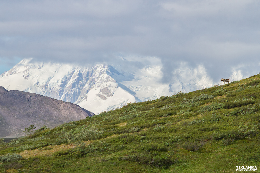 A wolf stands on a hill in Denali National Park, with a backdrop of North America's tallest mountain, Denali.