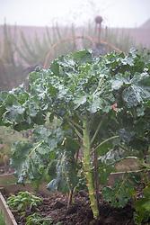 Brassica olearacea var italica 'Cardinal' - Purple sprouting broccoli