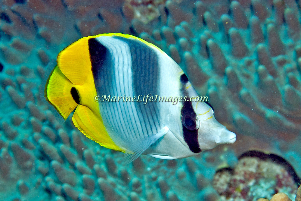 Pacific Double Saddle Butterflyfish inhabit reefs. Picture taken Palau.