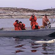 "Polar Bear, (Ursus maritimus) Photographing a bear in Wager Bay, Northwest Territories,  (""""""""Inuit name Nunavut""""""""), Canada."