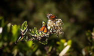 Migrating monarch butterflies in the forests of Big Sur, California