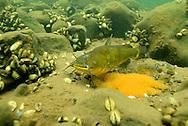 Black Bullhead (male guarding eggs)<br /> <br /> Engbretson Underwater Photography