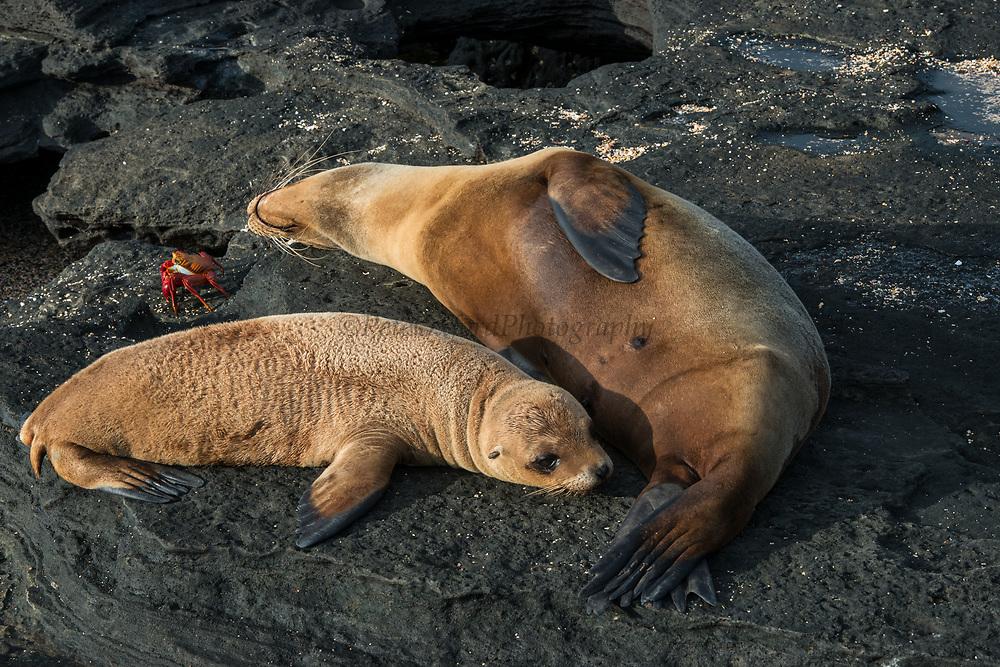 Galapagos Sealion (Zalophus wollebaeki)<br /> Puerto Egas, Santiago Island,<br /> GALAPAGOS ISLANDS<br /> ECUADOR.  South America