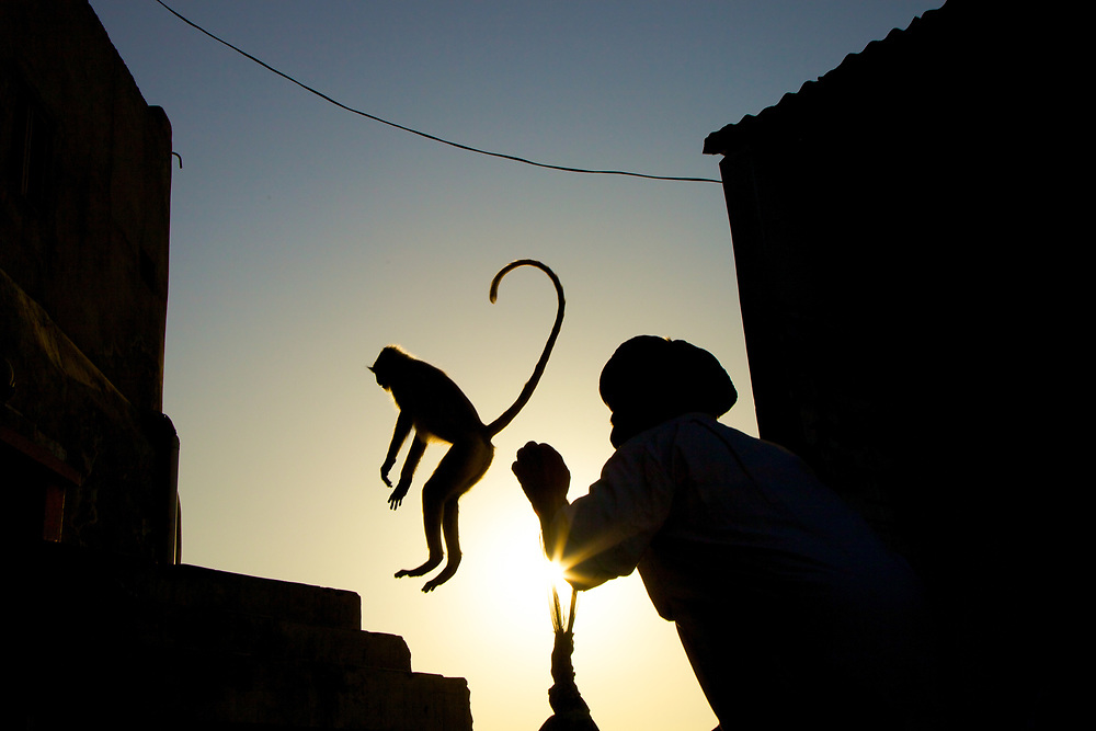 A Langur Monkey is jumping away from the guardian of Savitri Temple near Pushkar in India.<br /> Photo by Lorenz Berna.