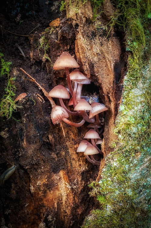 These inconspicuous little mushrooms get a very cool name from the fact that if you break the stems, they bleed a dark blood-red fluid. I found these growing inside of a dead tree (photographed here after pulling away some dead growth) on West Tiger Mountain - just twenty miles southeast of Seattle, Washington.