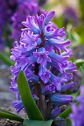 Hyacinthus orientalis 'Purple Star'