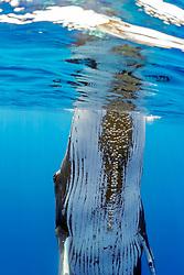 humpback whale, Megaptera novaeangliae, spyhopping, large adult female with parasitic acorn barnacles, Cornula diaderma, Hawaii, USA, Pacific Ocean