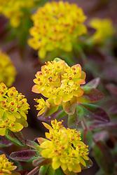 Euphorbia epithymoides 'Bonfire' syn. euphorbia polychroma - Cushion spurge.