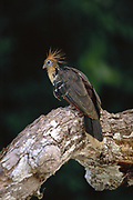 Hoatzin<br />Opisthocomus  hoazin<br />Manu national Park, PERU.   South America<br />Range: Amazon & Orinoco Basins