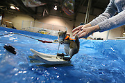 Toronto, ON, Canada - <br /> Louann Best releases the tail gently as she sends Twiggy on her way. Twiggy the Water Skiing Squirrel gets in some practice runs before her shows at the Toronto International Boat Show that runs January 8-17 at the Enercare Centre . at the Canadian National Exhibition in Toronto. Twiggy is an Eastern Gray squirrel. The Best family Louann and her son Chuck Jr. have been doing these shows for decades. This is Twiggy VIII, there is a Twiggy IX, they share shows. The squirrels always wear lifejackets as water safety is a theme of the show,<br /> ©Exclusivepix Media