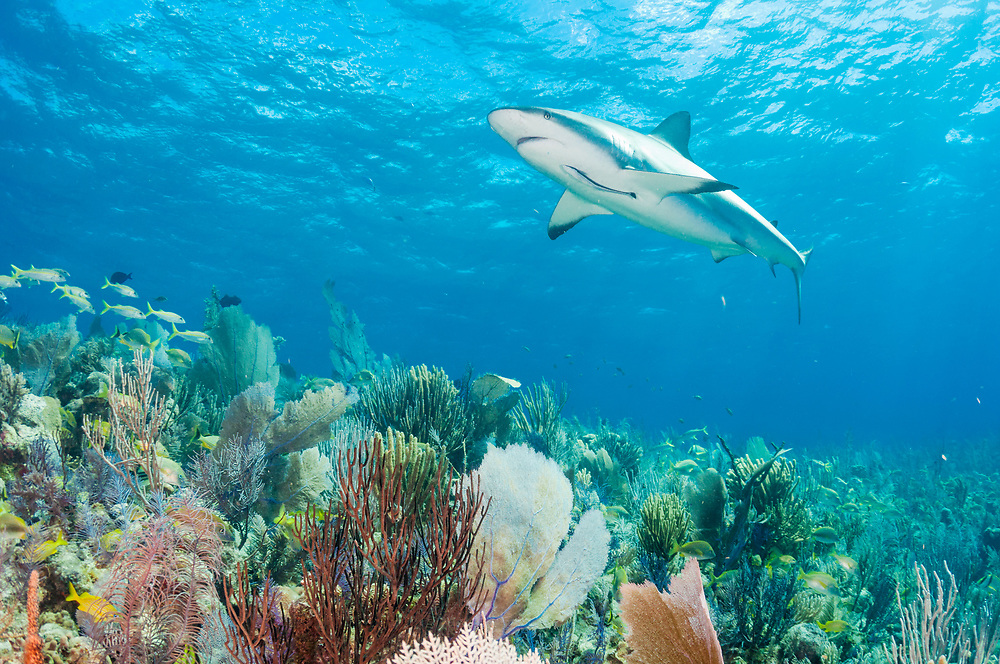 Caribbean reef shark (Carcharhinus perezi) swimming over pristine coral reef in Jardines de la Reina, Gardens of the Queen National Park, Cuba.