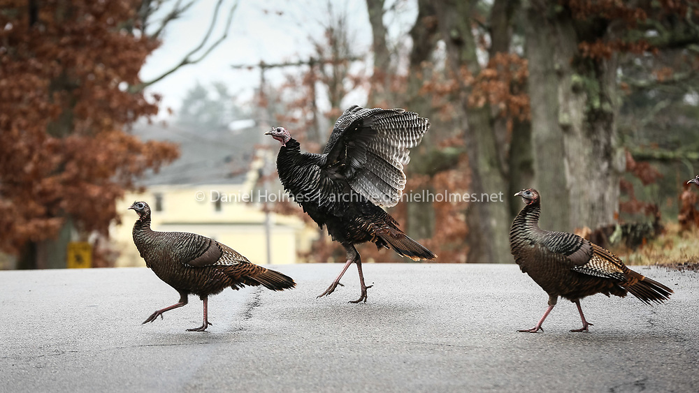 (12/27/15, MILLIS, MA) A Turkey stretches its wings across Spring St. in Millis on Sunday. Daily News and Wicked Local Photo/Dan Holmes
