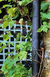 Grapes growing around drainpipe