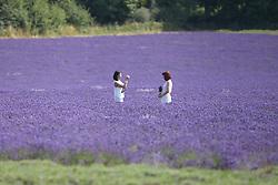 Lavender field, Surrey