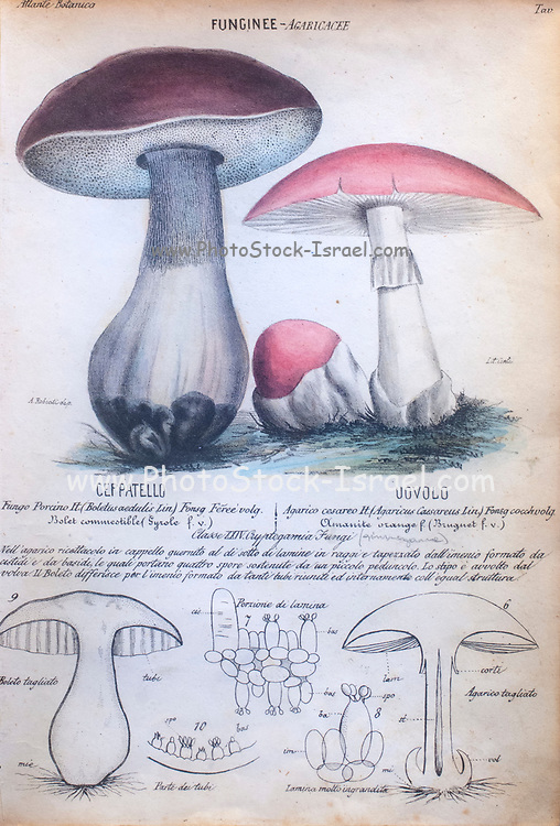 Funginee. Porcini Mushroom and Toadstool. This fascinating hand coloured botanical lithograph was made in Milan in 1847 by Ambrogio Robiati. Under each illustration is a detailed description in Italian in attractive Italic font.