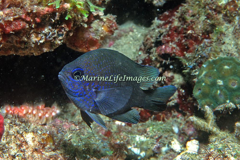 Purple Reeffish inhabit deep reefs in Tropical West Atlantic; picture taken Palm Beach.