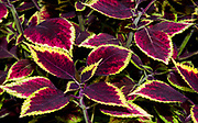 Coleus leaves showing the dramatic splash of dark red colour against the green. Also know as solenostemon flame nettle and painted nettle growing in a garden in Norfolk