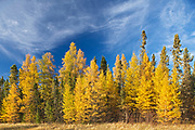 Boreal forest of Black spruce (Picea mariana) and eastern larch / tamarack (Larix laricina) in autumn color<br />Ear Falls<br />Ontario<br />Canada