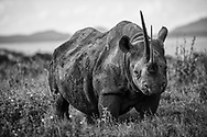 Sonia, Black Rhino, built like a tank and an aggressive attitude to go with her primordial presence.
