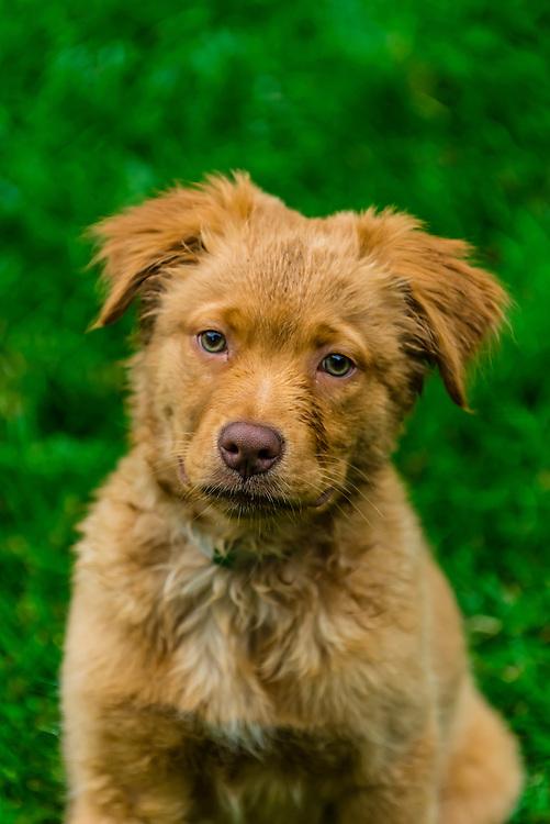 An Australian Shepherd/Golden Retriever mix Puppy, Littleton, Colorado USA.