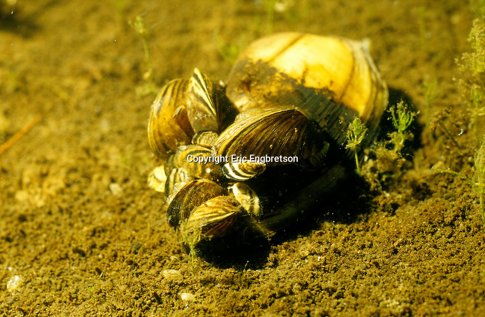 Zebra Mussels attached to shell of native mussel, Keyes Lake, WI<br /> <br /> ENGBRETSON UNDERWATER PHOTO