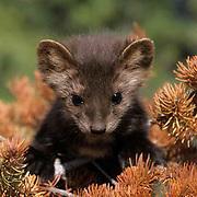 Pine Marten, (Martes americanus) Young kit. Spring. Montana.  Captive Animal.